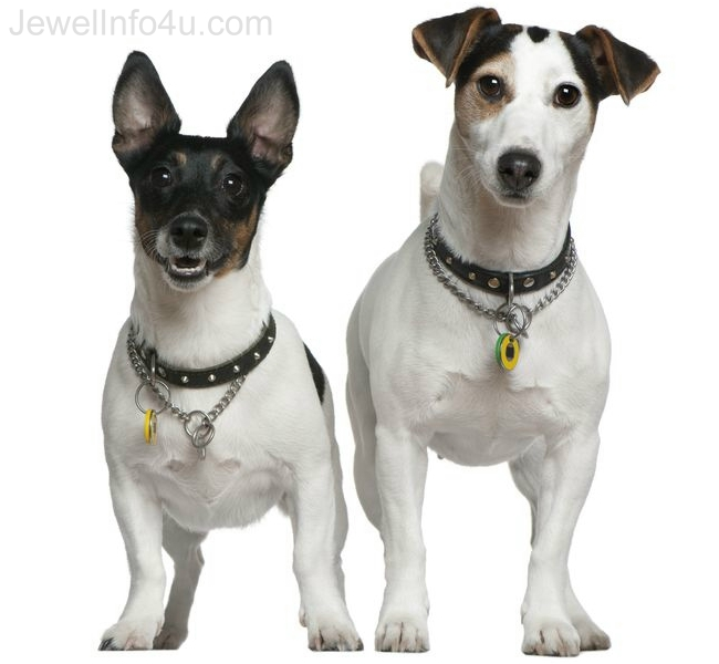 Two Jack Russell Terrier Dogs
